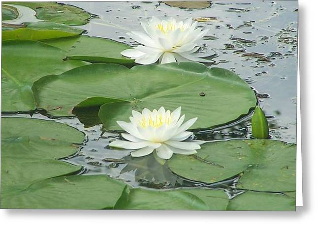 Water Lilies At Conesus Lake Greeting Card