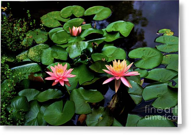Water Lilies In Armenia, Colombia Greeting Card by Al Bourassa