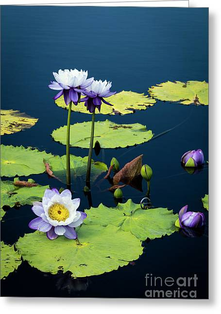 Water Lilies Iv Greeting Card