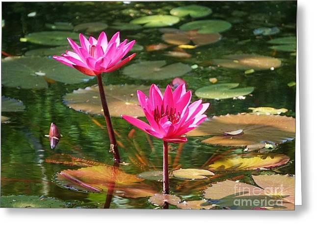 Water Lilies  Greeting Card by John Clark