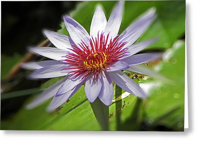 Water Lillies At Waimea I Greeting Card by Elizabeth Hoskinson