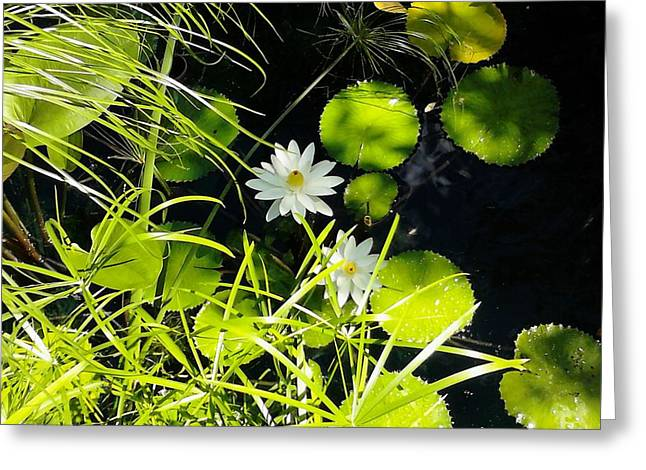 Water Lillies Greeting Card by John Parry