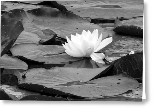 Water Lilly Greeting Card by Noelle  Kimberley