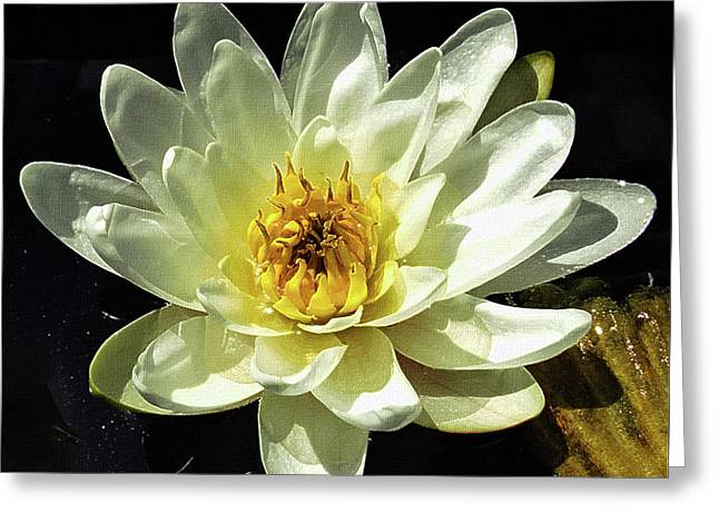 Water Lily Aquatic Flower Greeting Card