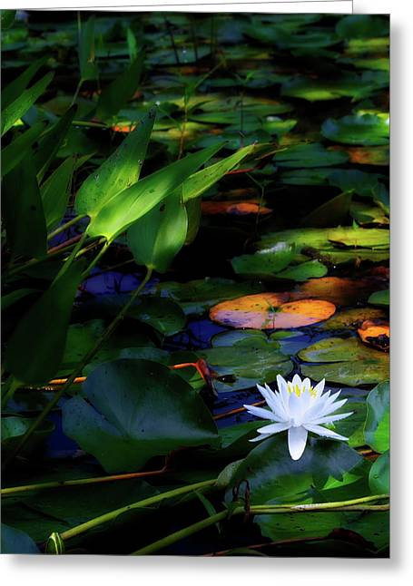 Water Lily Greeting Card by Bill Wakeley