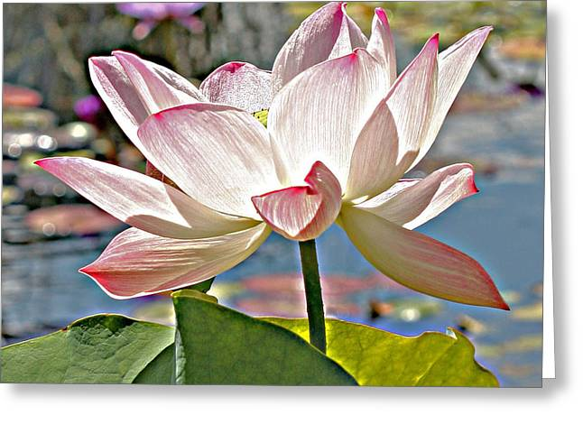 Water Lily Greeting Card by Catherine Alfidi