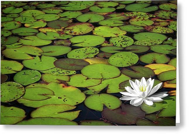 Water Lily Greeting Card by Elisabeth Van Eyken
