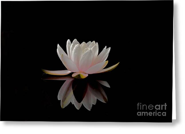 Water Lily Greeting Card by Elizabeth McPhee