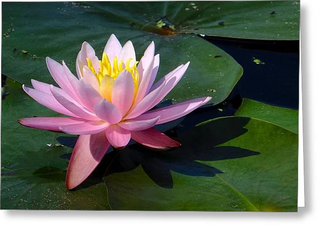 Water Lily In Mountain Lake Greeting Card