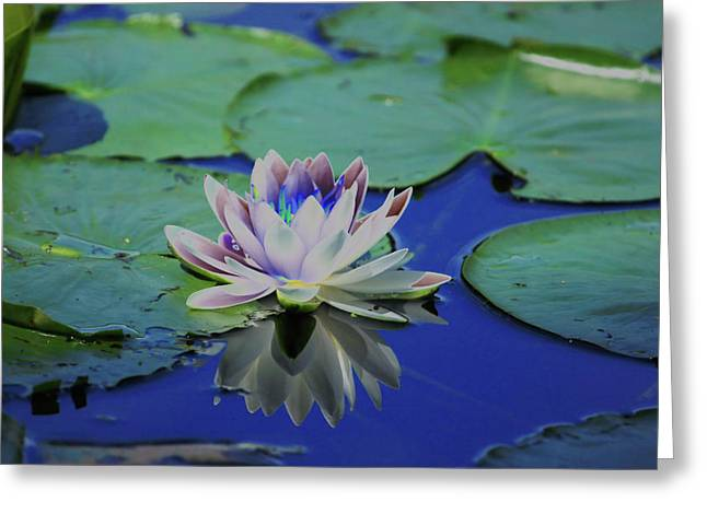 Water Lily  Greeting Card by Karol Livote