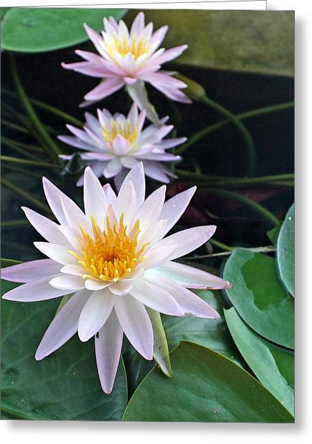Greeting Card featuring the photograph Water Lily Line by Farol Tomson
