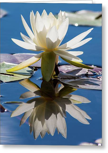 Water Lily Greeting Card by Mary Hone