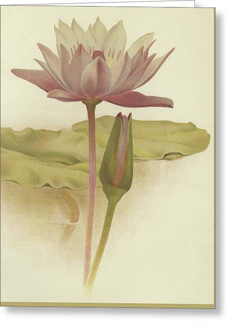 Water Lily  Nymphaea Zanzibarensis Greeting Card by English School