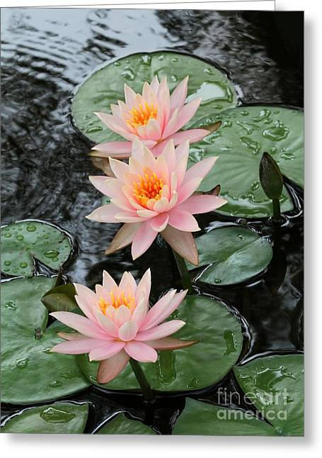 Water Lily Trio Greeting Card