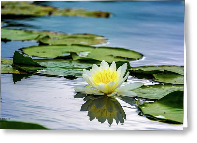 Water Lily White Yellow 3 Greeting Card by Pamela Williams