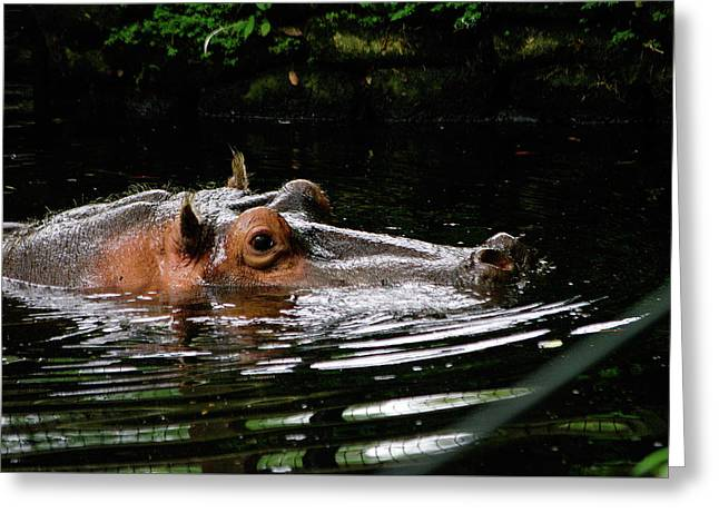 Water Pig Greeting Card by Paul Wash
