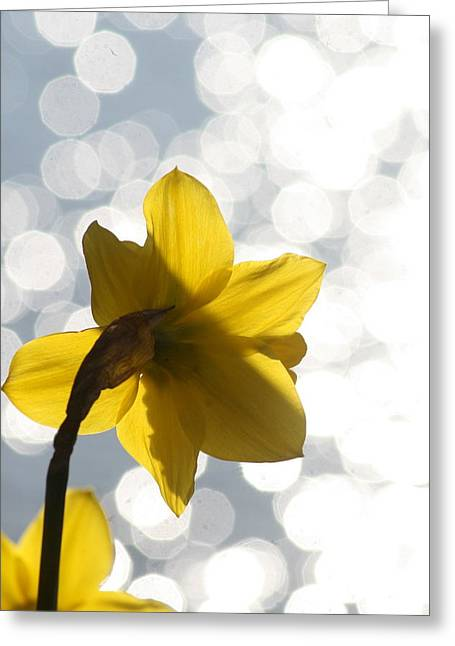 Water Reflected Daffodil Greeting Card by Karla DeCamp