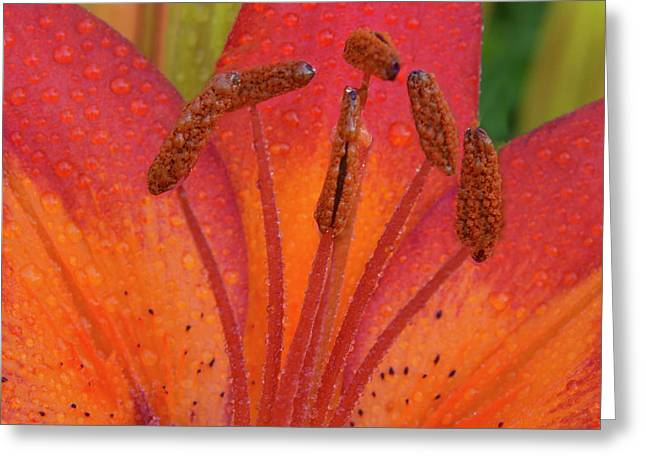 Greeting Card featuring the photograph Watered Lily by Jean Noren