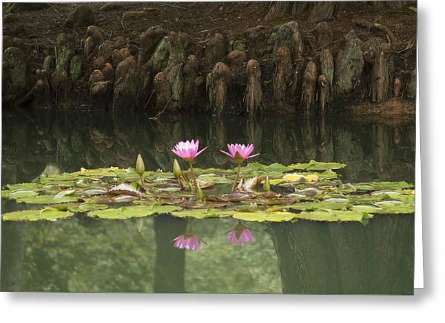 Waterlilies And Cyprus Knees Greeting Card