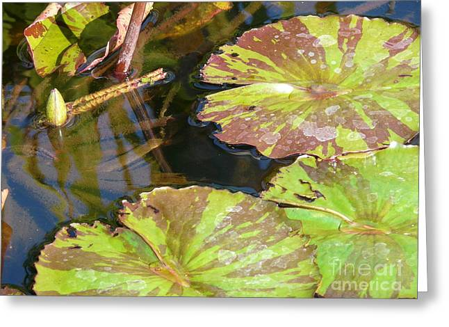 Waterlilies Greeting Card by Donna McLarty