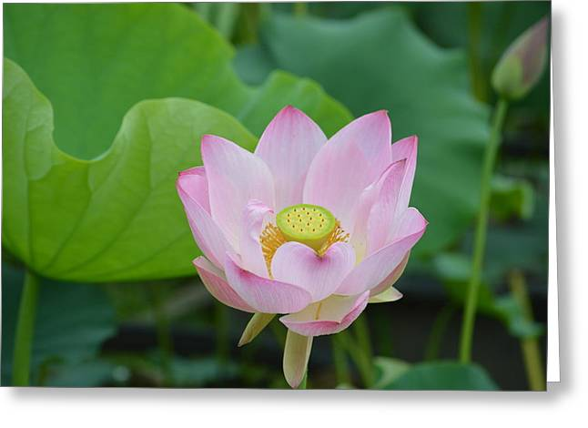 Waterlily Blossom With Seed Pod Greeting Card by Linda Geiger