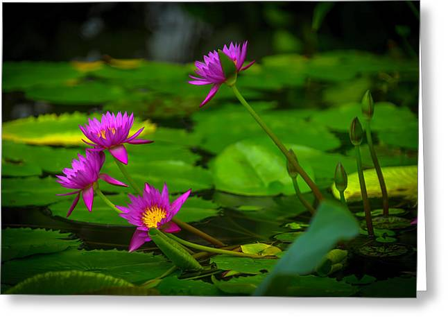 Waterlily Blossoms Greeting Card by Garry Gay