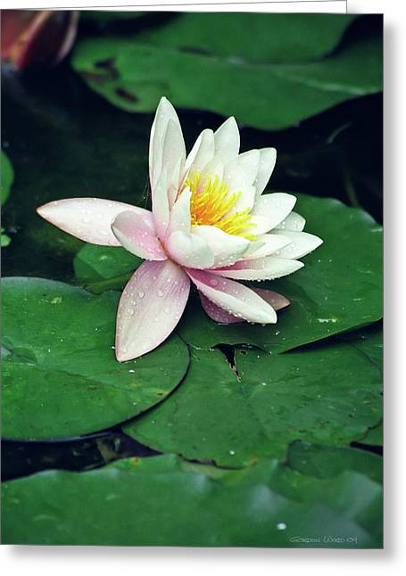 Waterlily Stamen Greeting Cards - Waterlily in Bloom Greeting Card by Gordon Wood