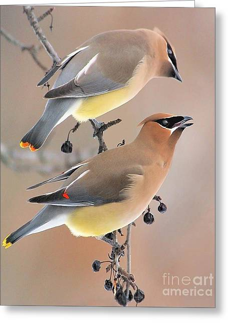 Waxwings Greeting Card