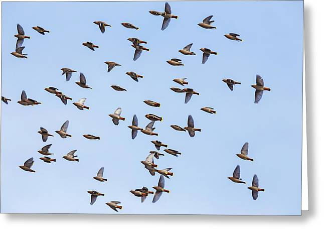 Greeting Card featuring the photograph Waxwings by Mircea Costina Photography