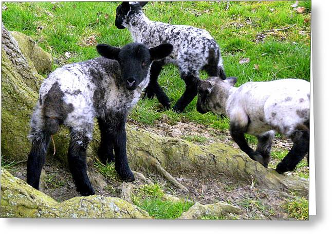 We Are Poor Little Lambs Greeting Card by Mindy Newman