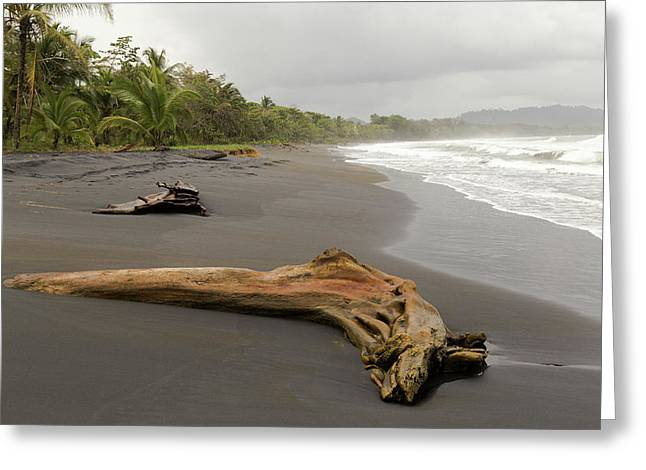 Weathered Tree On Costa Rica Beach Greeting Card