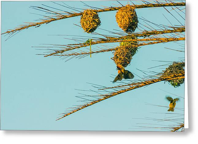 Weaver Birds Greeting Card