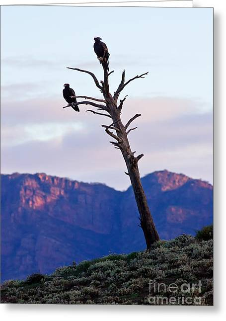 Wedge Tail Eagles Greeting Card by Bill  Robinson