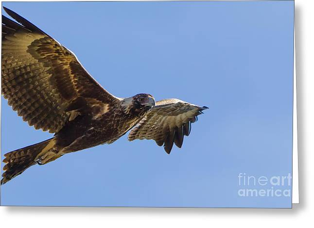 Wedge-tailed Eagle Greeting Card by B.G. Thomson