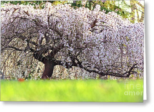 Greeting Card featuring the photograph Weeping Japanese Cherry Tree by Charline Xia