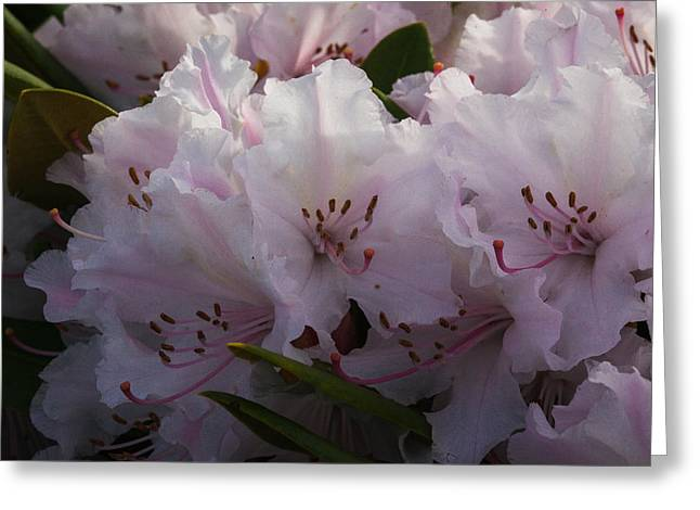 Weigela Blossom Greeting Card