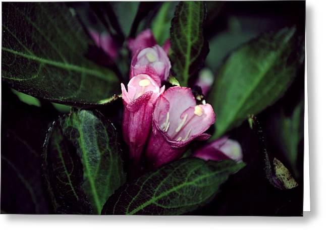 Weigela Florida Dark Horse Pink Flowering Shrub Greeting Card by Laura Pineda