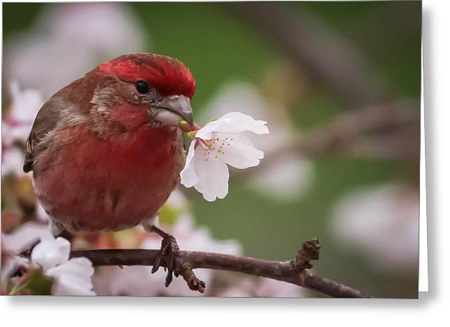 Welcome Spring House Finch With Flower Greeting Card