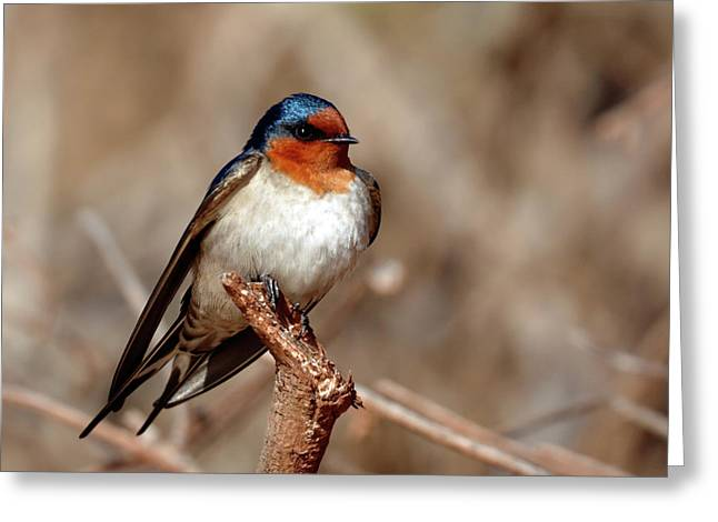 Welcome Swallow Greeting Card