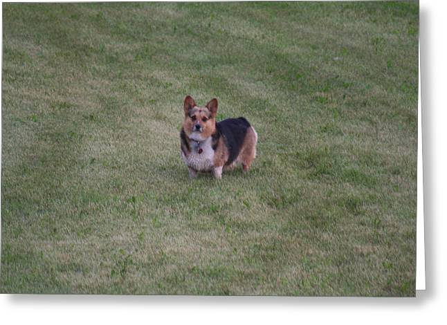 Welsh Corgie Greeting Card by Linda Ostby