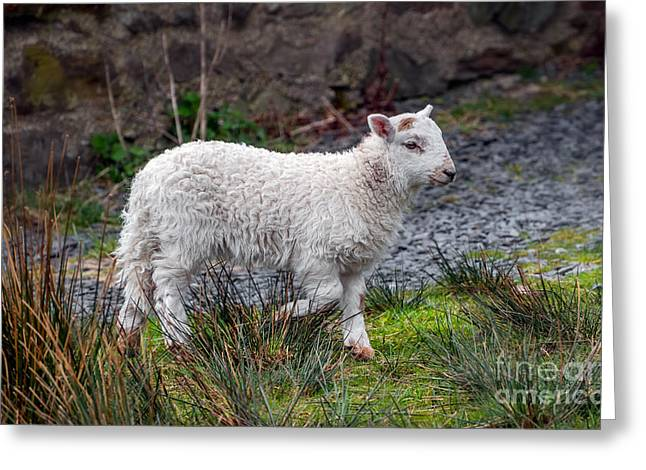 Welsh Lamb Greeting Card by Adrian Evans