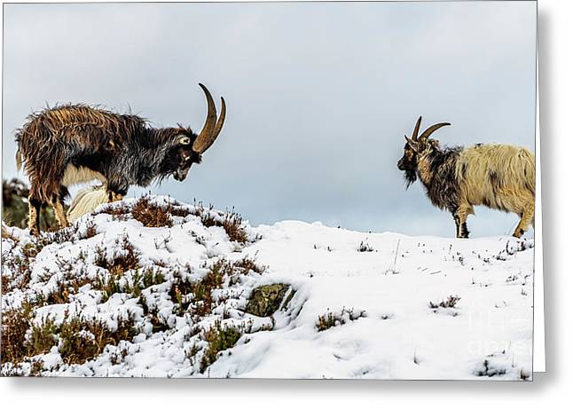 Welsh Mountain Goats Greeting Card