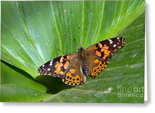 West Coast Lady Butterfly Greeting Card