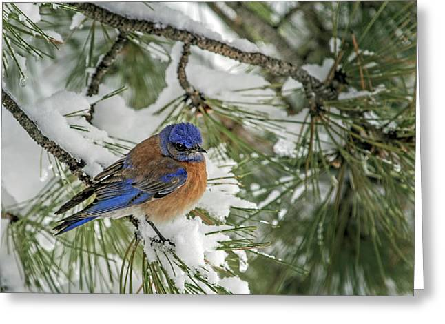 Western Bluebird In A Snowy Pine Greeting Card