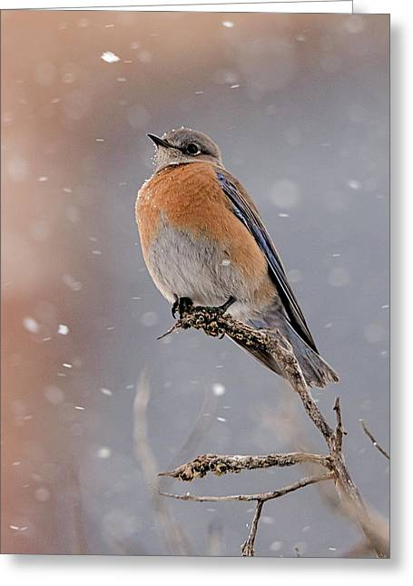 Western Bluebird In Winter Greeting Card
