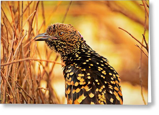 Western Bowerbird Greeting Card