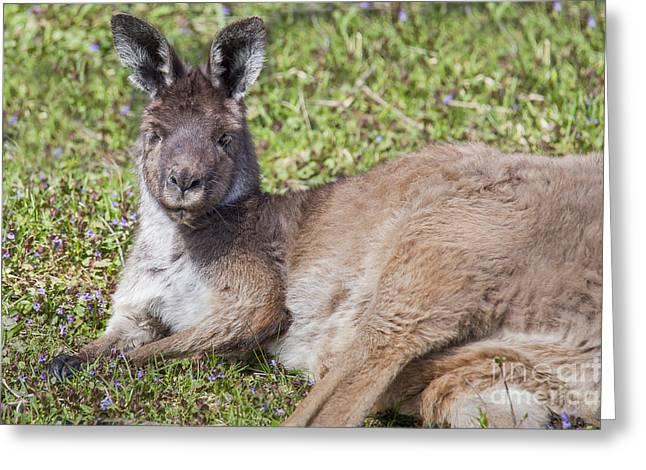 Western Gray Kangaroo Greeting Card by Twenty Two North Photography