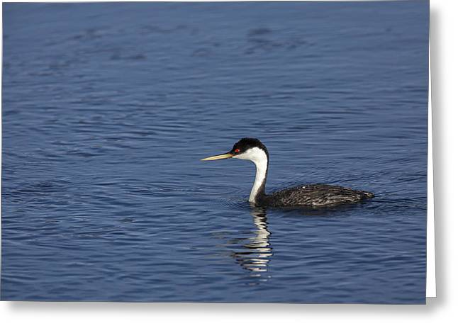 Western Grebe In Late Afternoon Light Greeting Card