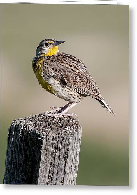 Greeting Card featuring the photograph Western Meadowlark by Gary Lengyel