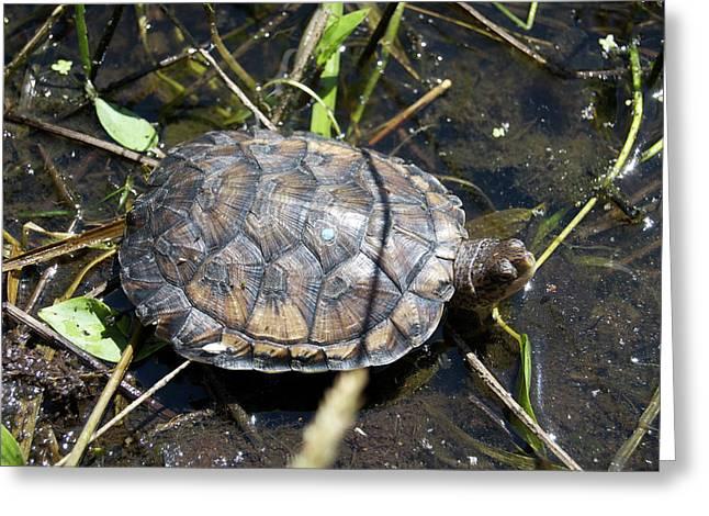 Western Pond Turtle, Actinemys Marmorata Greeting Card